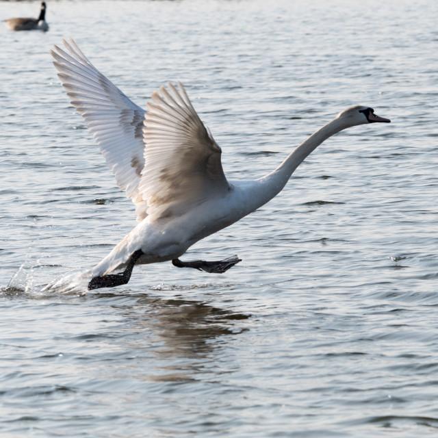 """Mute Swan taking off"" stock image"