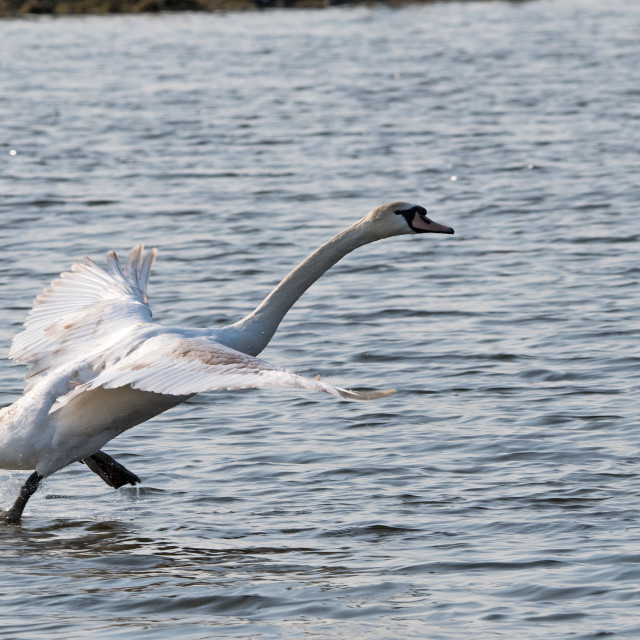 """Mute Swan taking off"" stock image"