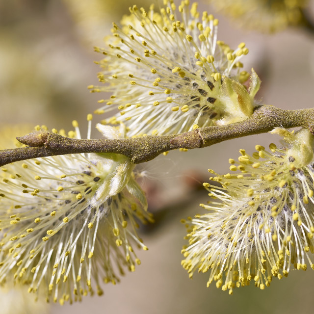 """Male Goat Willow or Pussy Willow or Great Sallow (Salix caprea) flowers or catkins"" stock image"