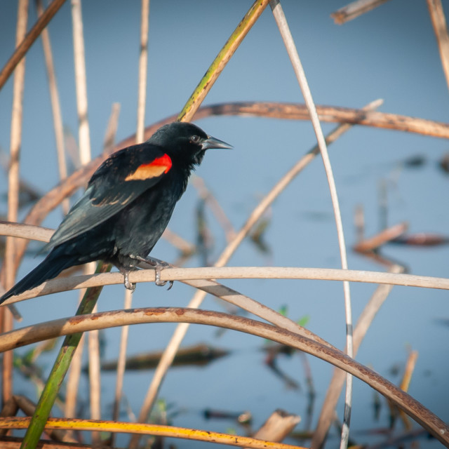 """Red Winged Blackbird Perched on Reeds"" stock image"