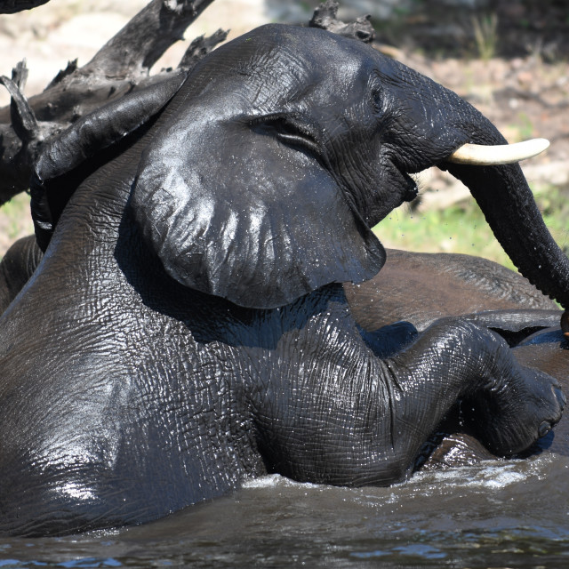 """Elephant comes for a bath"" stock image"