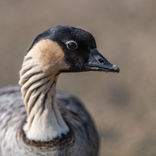 """Nene / Hawaiian goose / Nēnē, Slimbridge WWT"" stock image"