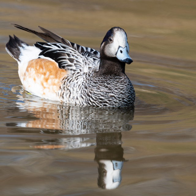 """Chiloe Wigeon, Slimbridge WWT"" stock image"