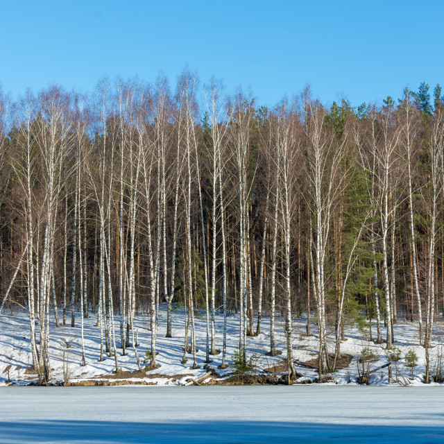 """""""High slender birches on the bank of a river covered with ice."""" stock image"""