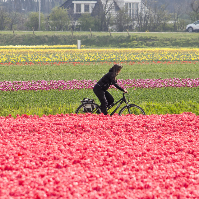 """Bicyclist in a tulip field"" stock image"