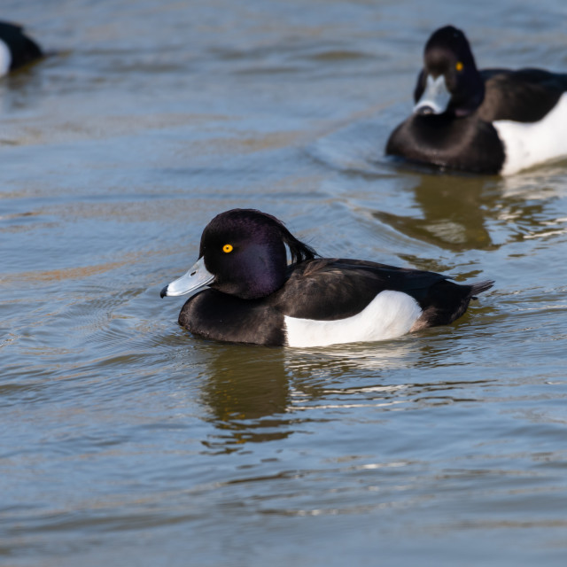 """tufted duck, Slimbridge WWT"" stock image"