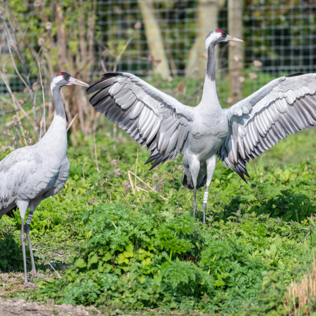 """Eurasian Crane, Slimbridge, WWT"" stock image"