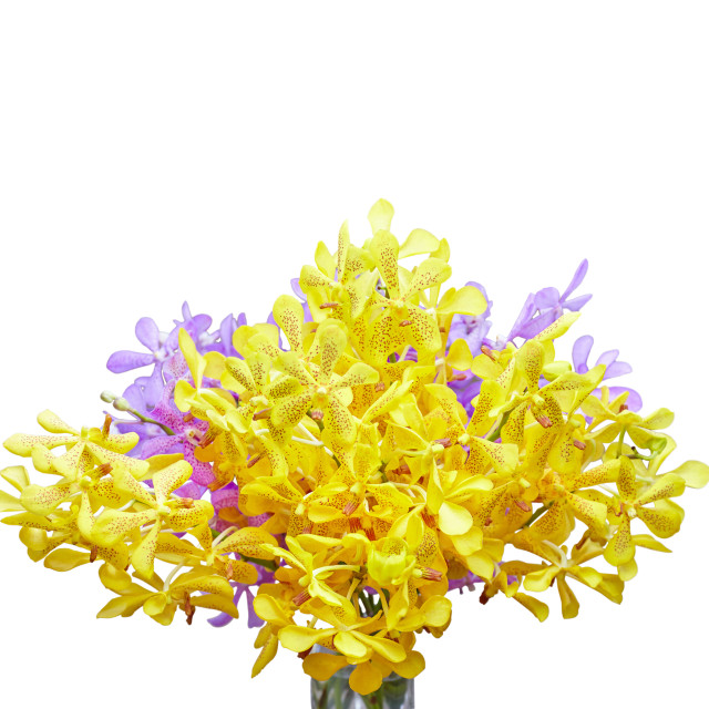 """Closeup, Yellow and purple Thai orchid flower isolated on white background with clipping mask"" stock image"