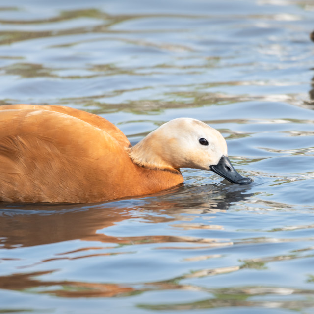 """Ruddy Shelduck, Slimbridge, WWT"" stock image"