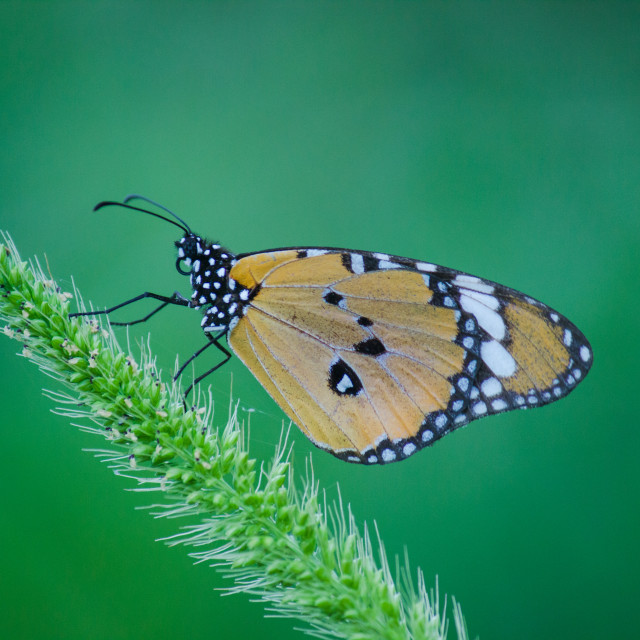 """The Plain Tiger Butterfly"" stock image"