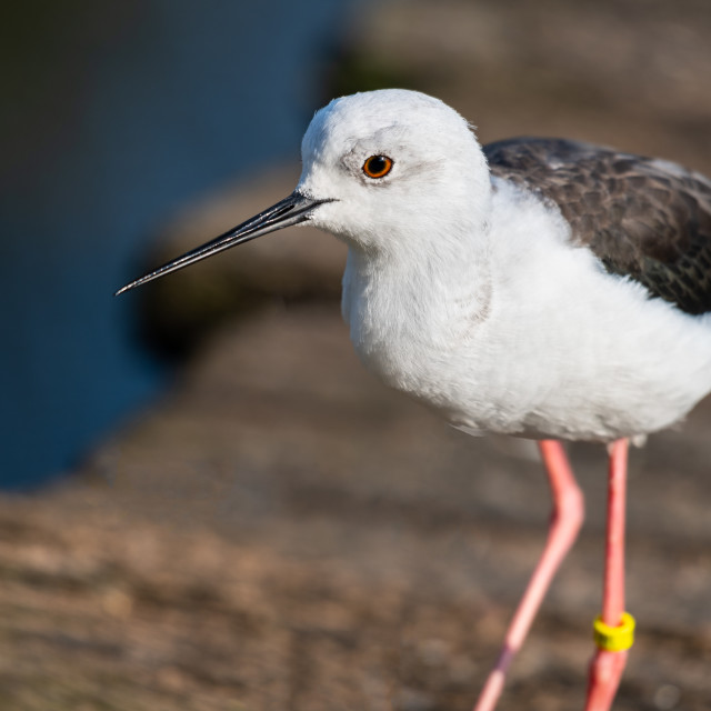 """Black Winged Stilt, Slimbridge, WWT"" stock image"