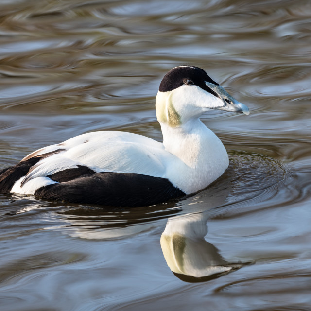 """Eider Duck, Slimbridge, WWT"" stock image"