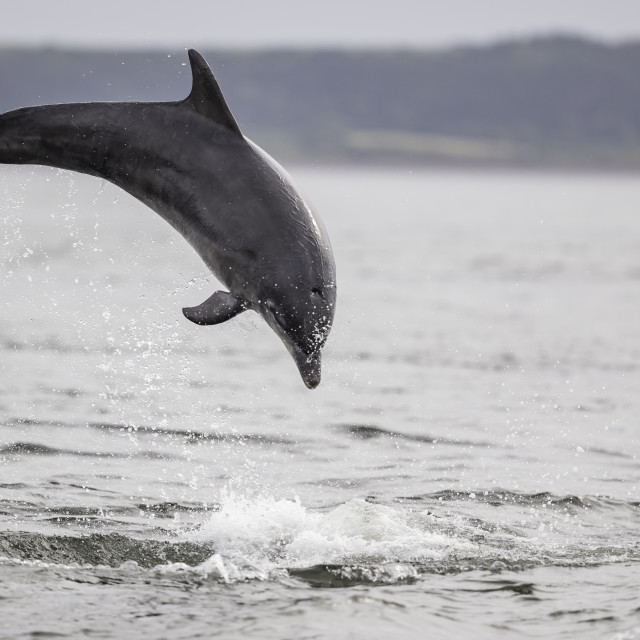 """""""Leaping dolphin"""" stock image"""