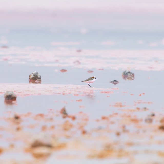 """Sand Piper Pink Lake, Australia"" stock image"