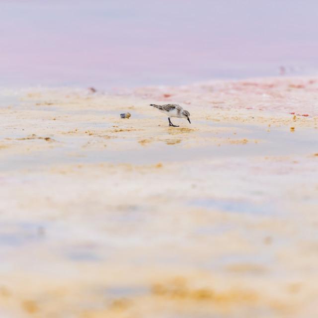 """Sand Piper Pink Lake"" stock image"