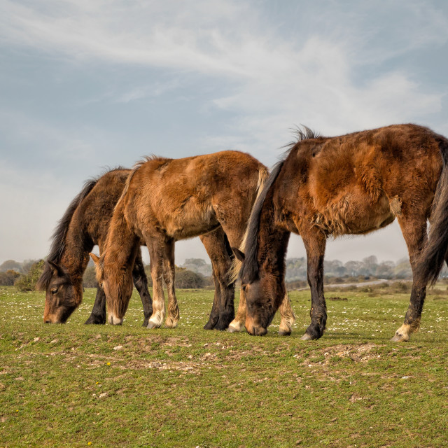 """""""New Forest Ponies"""" stock image"""