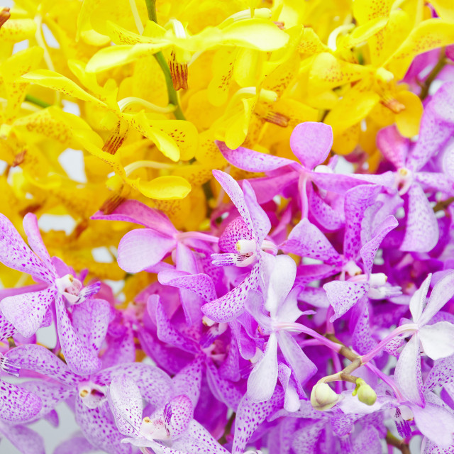 """Abstract flowers background textures, Vivid yellow and purple orchid flower"" stock image"