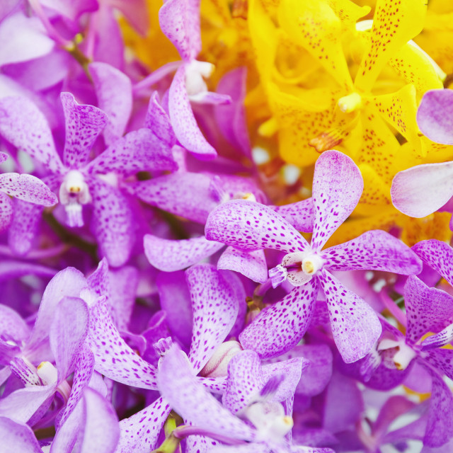 """Closeup bush of purple and yellow orchid flowers, Nature abstract background"" stock image"
