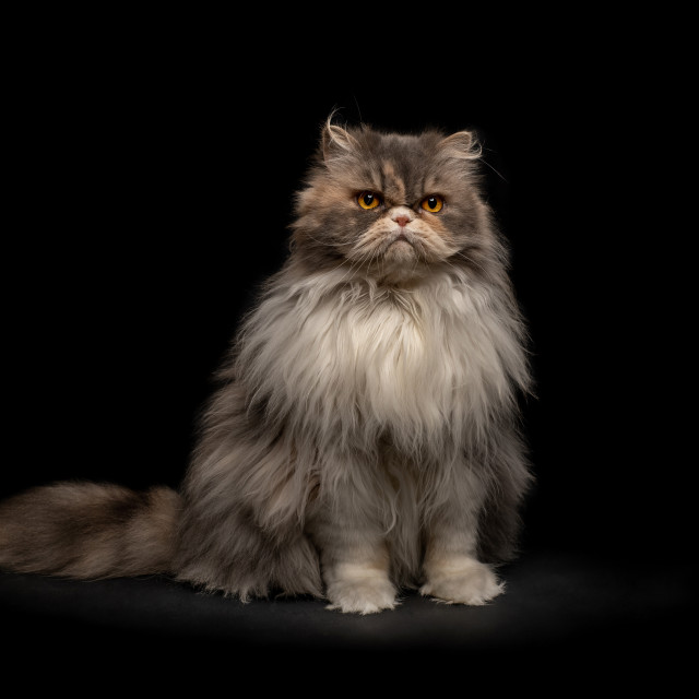 """Persian cat."" stock image"
