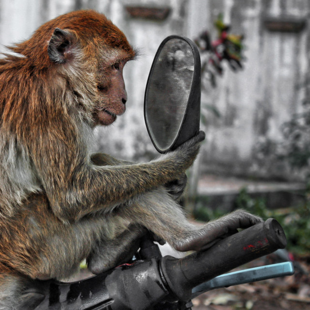 """""""A vain monkey stares at itself in the mirror"""" stock image"""