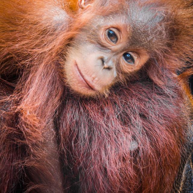 """World's cutest baby orangutan snuggles with Mom in Borneo"" stock image"
