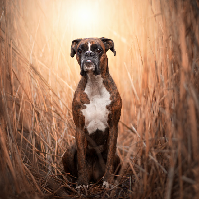 """Boxer in the reeds"" stock image"