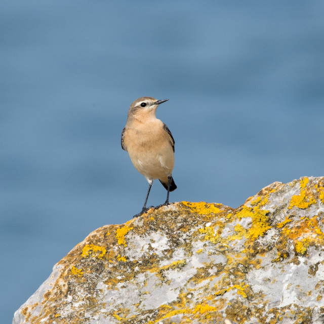 """Female Wheatear"" stock image"