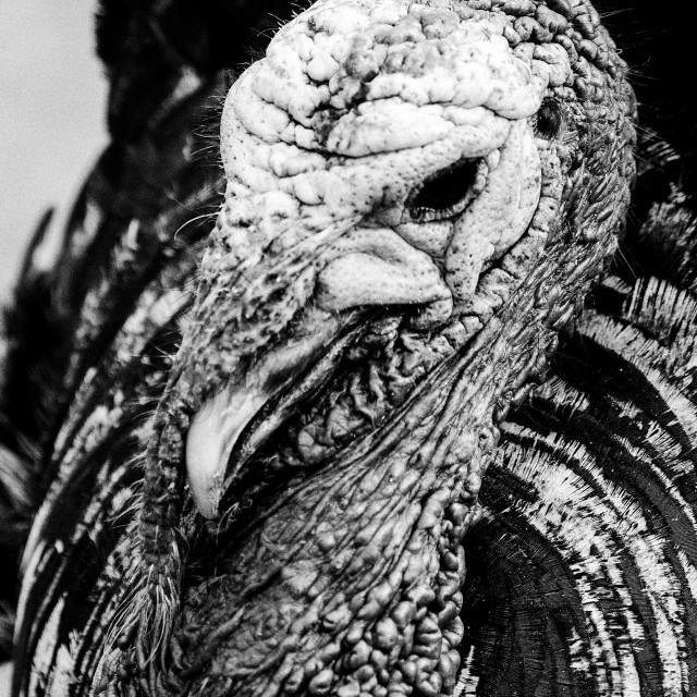 """""""Grizzled old turkey"""" stock image"""