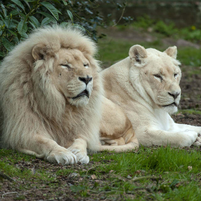 """White lions"" stock image"