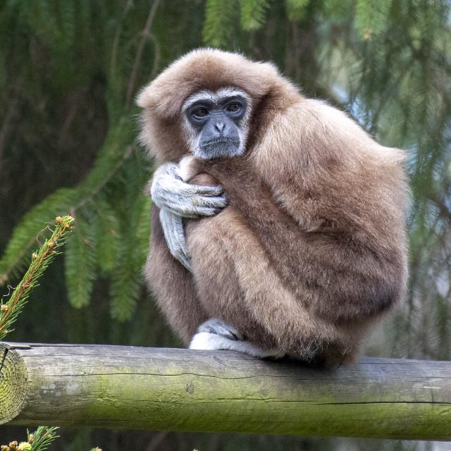 """""""Gibbon"""" stock image"""