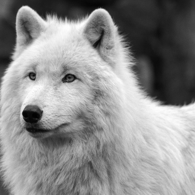 """Arctic wolf in black and white"" stock image"