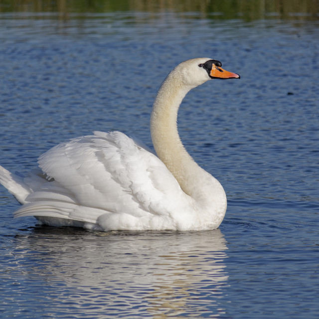 """""""Mute swan on water"""" stock image"""