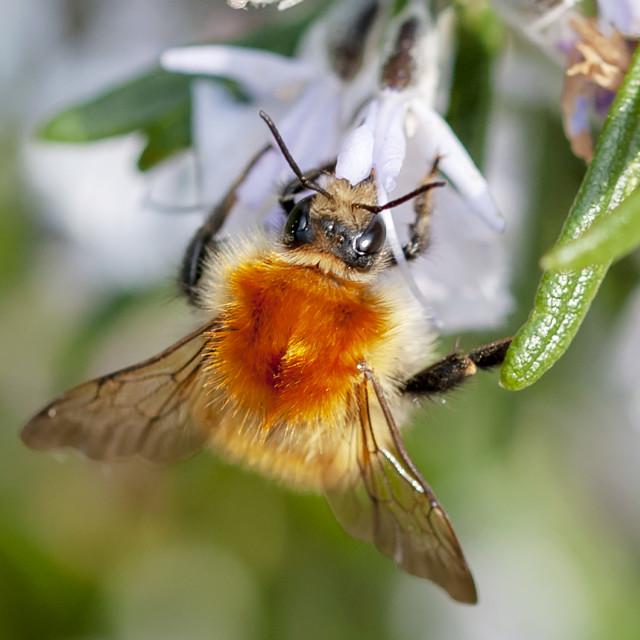 """Mining Bee"" stock image"