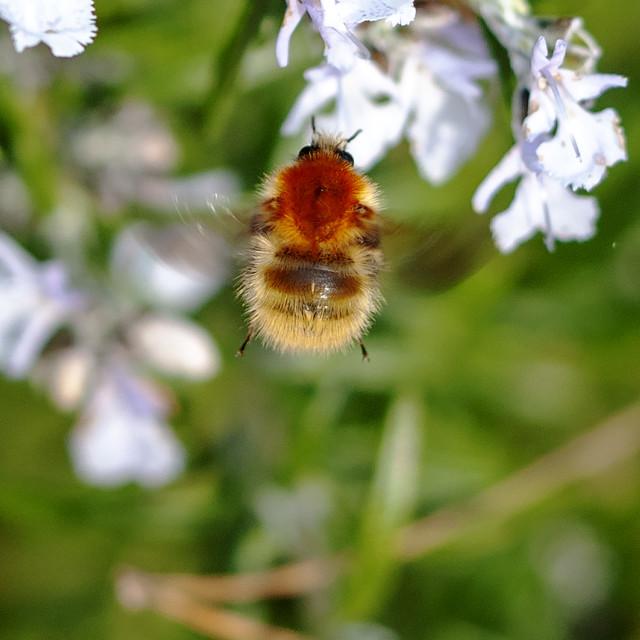 """Mining Bee - female"" stock image"