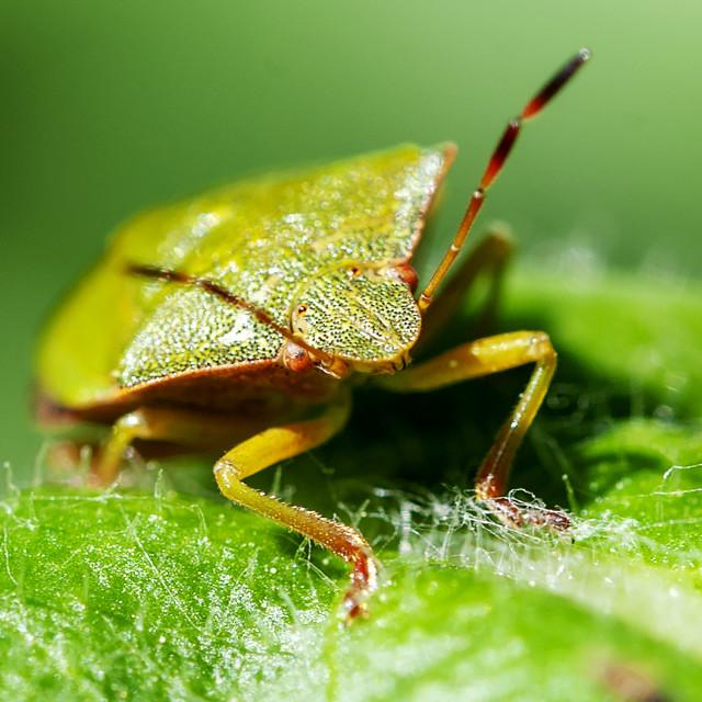 """Green shield bug"" stock image"