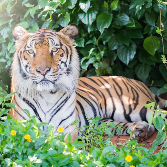 """""""Big Bengal tiger"""" stock image"""