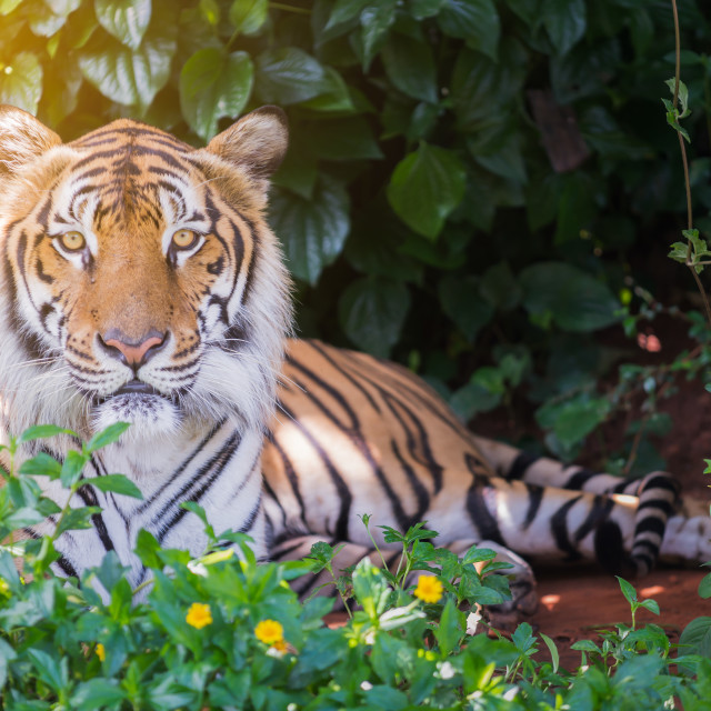 """""""Big Bengal tiger."""" stock image"""