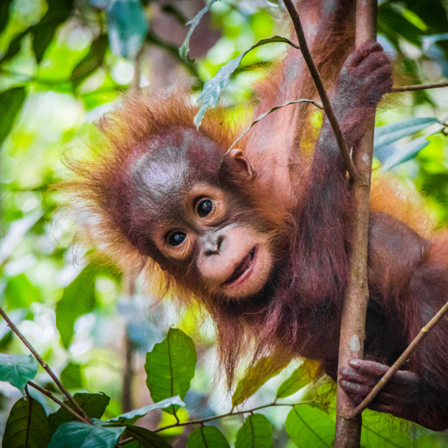 """World's cutest baby orangutan hangs in a tree in Borneo"" stock image"