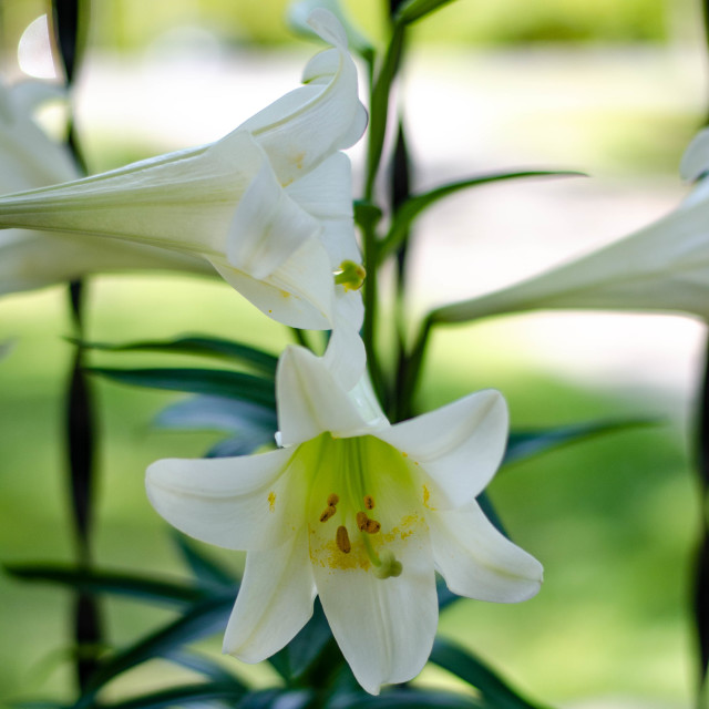 """""""Easter Lilies"""" stock image"""