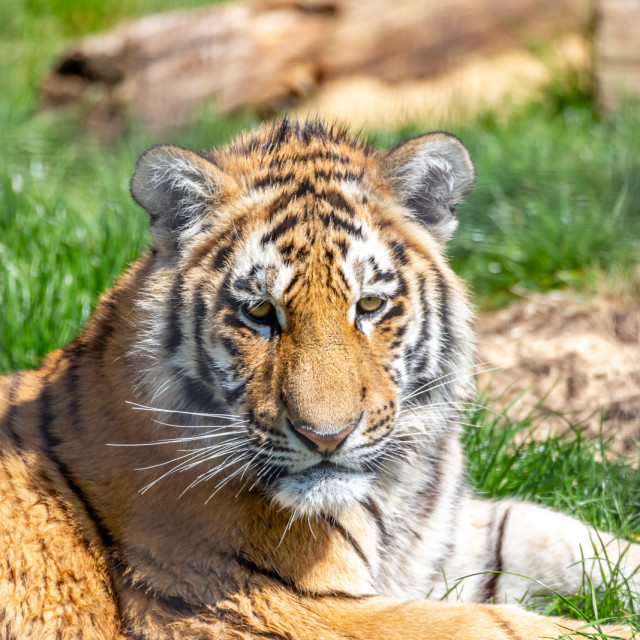 """""""The Tiger Cub"""" stock image"""