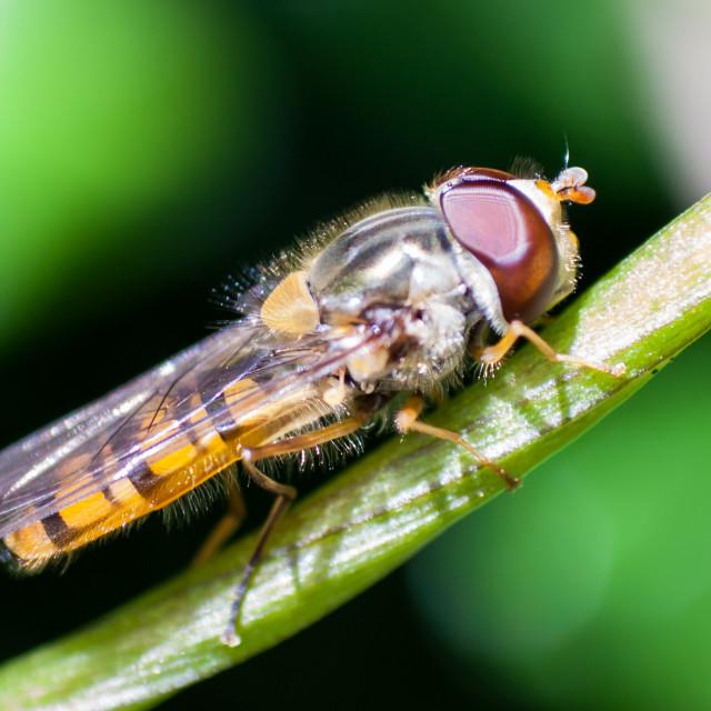 """Marmalade hoverfly (Episyrphus balteatus)"" stock image"