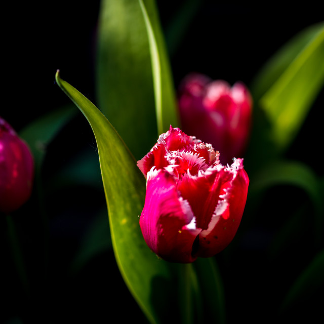 """Dramatic Red Tulips"" stock image"