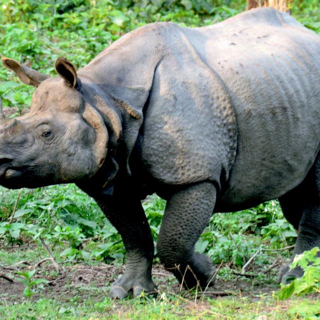 """""""A stray rhino"""" stock image"""