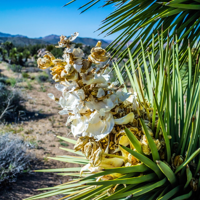 """""""A white flowering yucca plant in Joshua National Park, California"""" stock image"""