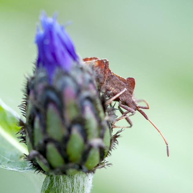 """""""Brown shield bug"""" stock image"""