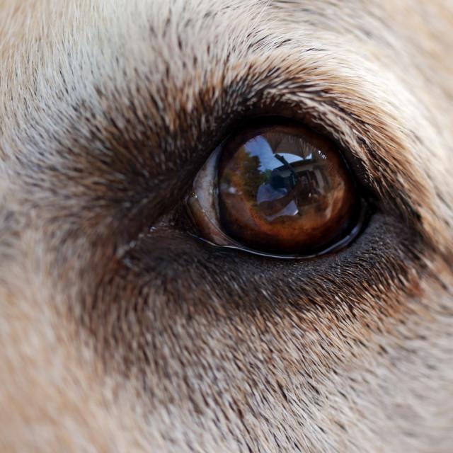 """""""In a Labrador's eye"""" stock image"""