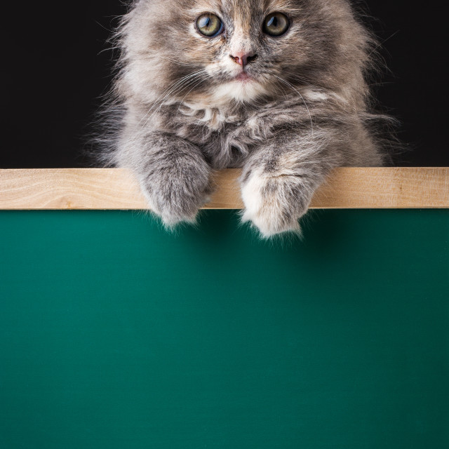 """""""A cute little kitten standing holding a blank chalk board"""" stock image"""