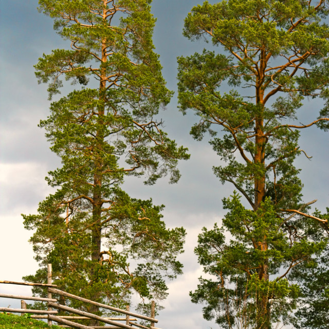 """""""Coniferous tree and wood fence"""" stock image"""