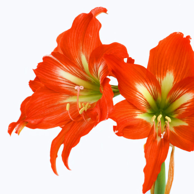 """Red Amaryllis over white"" stock image"