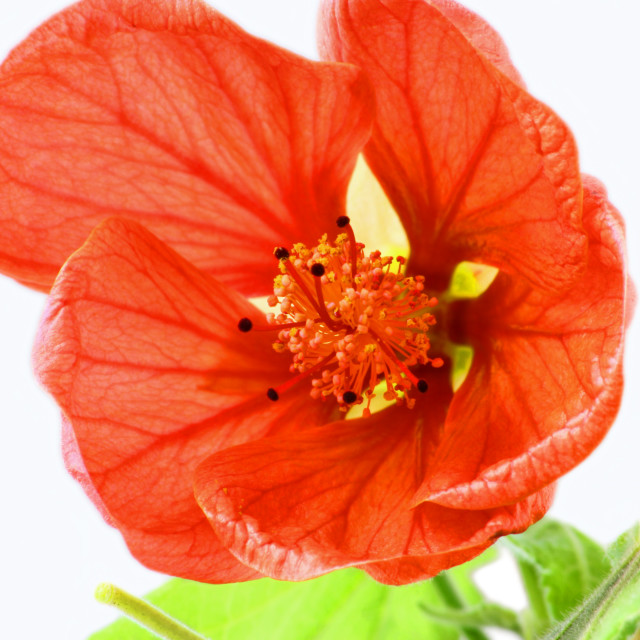 """Close image of orange abutilon flower"" stock image"